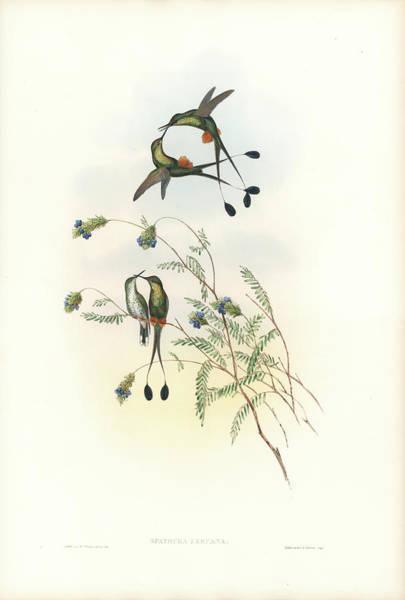 Painting - Peruvian Racket-tail Hummingbird Spathura Peruana by John and Elizabeth Gould