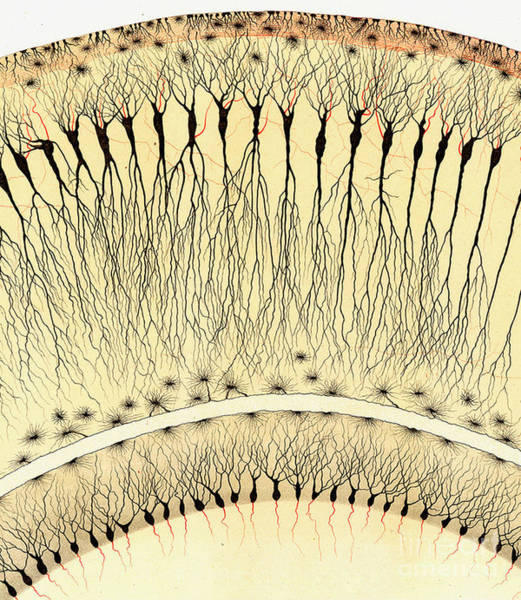 Motor Cortex Photograph - Pes Hipocampi Major Santiago Ramon Y Cajal by Science Source