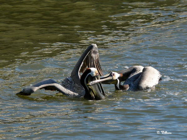 Photograph - Pesky Pelican by Dan Williams