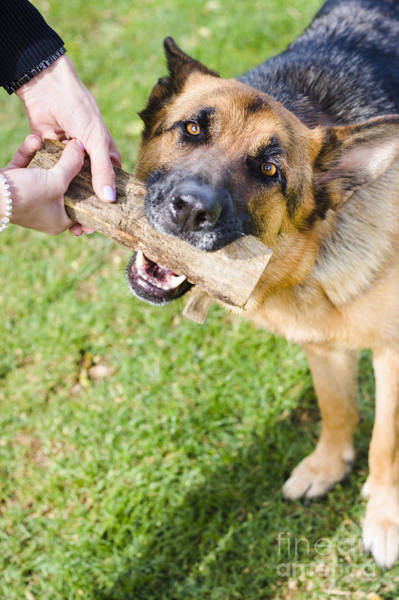 Fetch Photograph - Pet Dog In Park Playing Tug Of War Game With Owner by Jorgo Photography - Wall Art Gallery