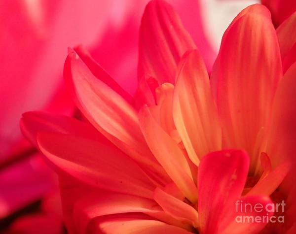 Photograph - Petal Abstract by Christina Verdgeline