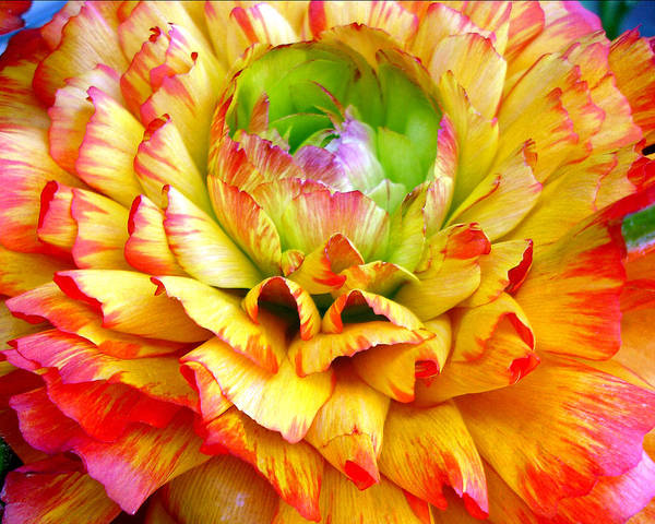 Photograph - Petal Burst by Lynda Lehmann