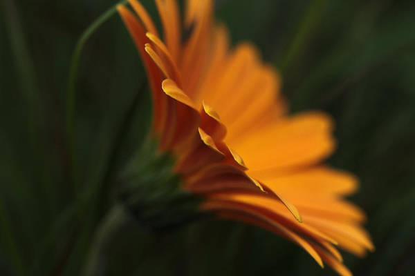 Perky Photograph - Petal Duster  by Connie Handscomb