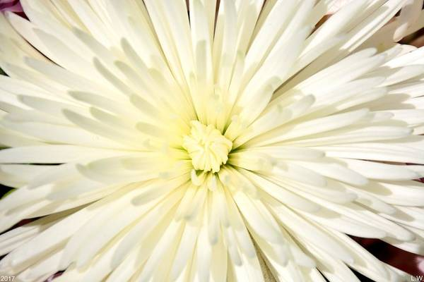 Photograph - Petal Explosion by Lisa Wooten