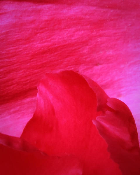 Photograph - Petals Abstract by David Coblitz