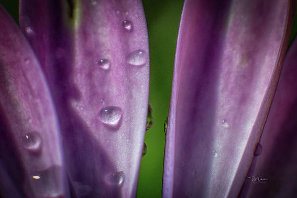 Photograph - Petals And Drops by Bill Posner