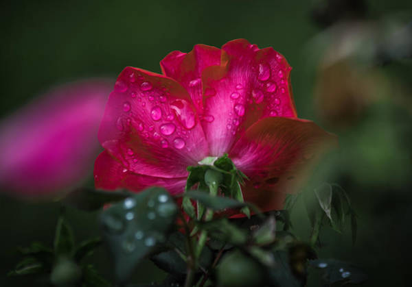 Photograph - Petals Of Pink by Parker Cunningham