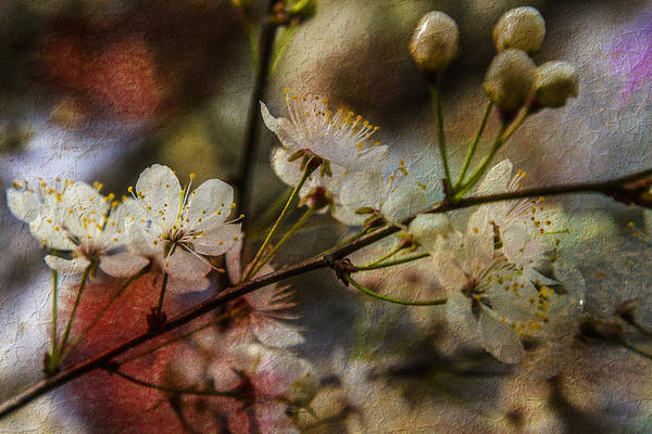 Photograph - Petals Wide Open - Textured Spring Floral by Barry Jones