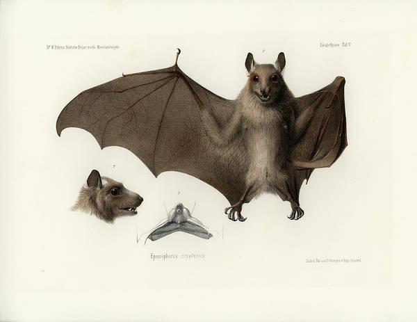 Drawing - Peters's Epauletted Fruit Bat by Hugo Troschel