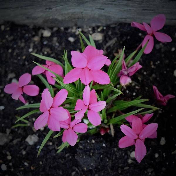 Photograph - Petite Pink Petals by Lynda Anne Williams