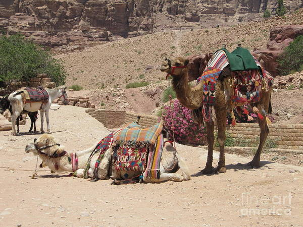 Photograph - Petra Camels by Donna L Munro