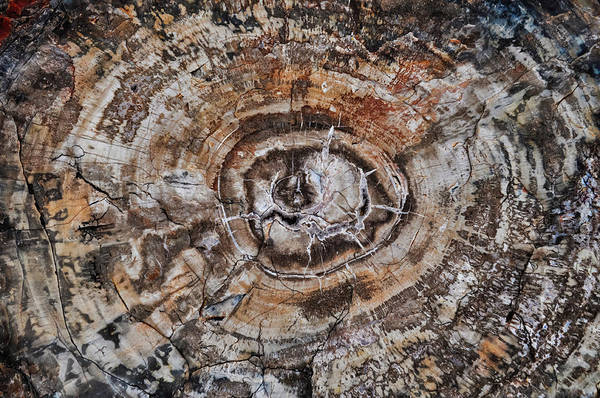 Photograph - Petrified Wood Rings by Kyle Hanson