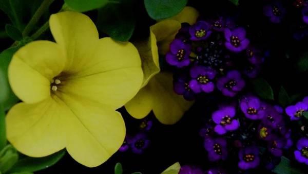Photograph - Petunia And Alyssum by Lynda Anne Williams