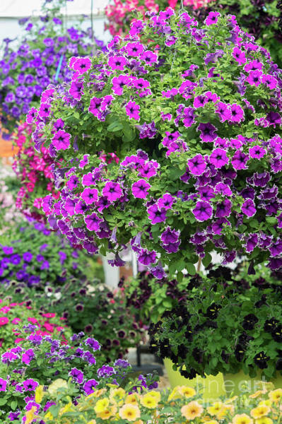 Petunias Photograph - Petunia Corona Amethyst Flowers by Tim Gainey