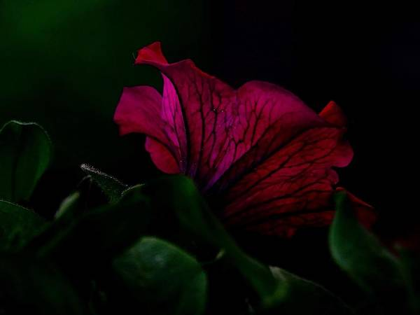 Photograph - Petunia by Mhiss Little