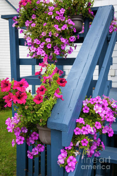 Wall Art - Photograph - Petunias On Blue Porch by Elena Elisseeva
