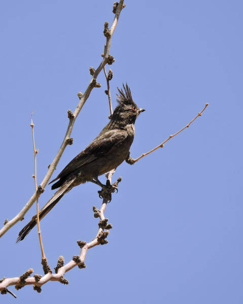Photograph - Phainopepla by Grace Dillon