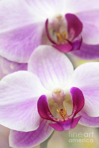 Photograph - Phalaenopsis Orchid by Elena Nosyreva