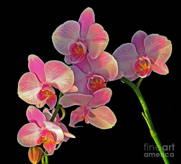 Photograph - Phalaenopsis Orchid by Rodney Campbell