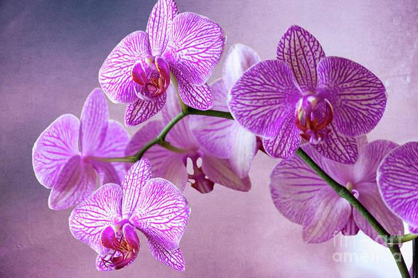 Photograph - Phalaenopsis Pink Balanz by Heiko Koehrer-Wagner
