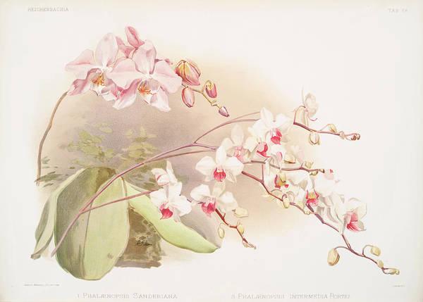Wall Art - Photograph - Phalaenopsis Sanderiana, Phalaenopsis Intermedia Portei by Ricky Barnard