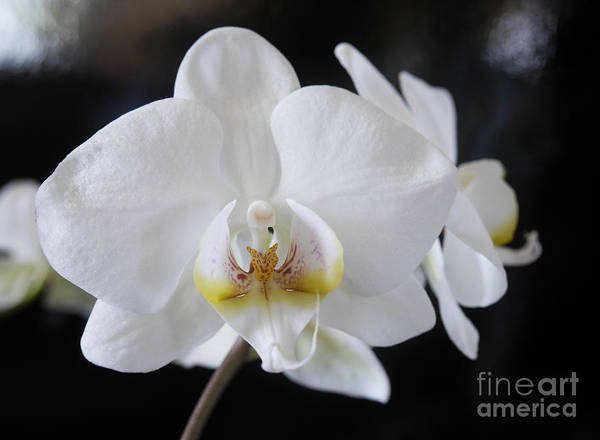 Photograph - Phalaenopsis The White Moth Orchid by Brenda Kean