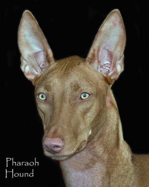 Photograph - Pharaoh Hound by Larry Linton