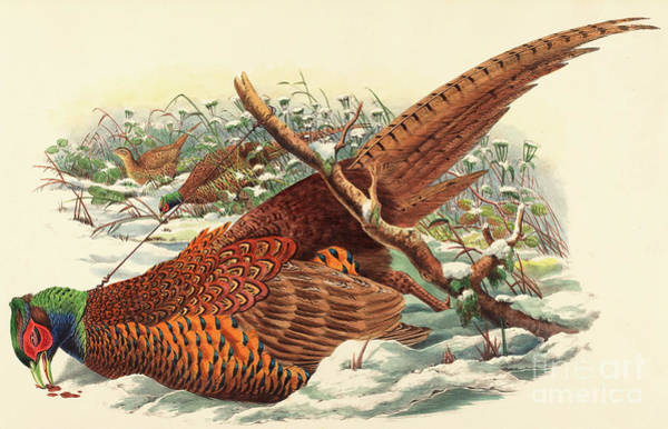Strangling Painting - Phasianus Colchicus, Ring Necked Pheasant by John Gould