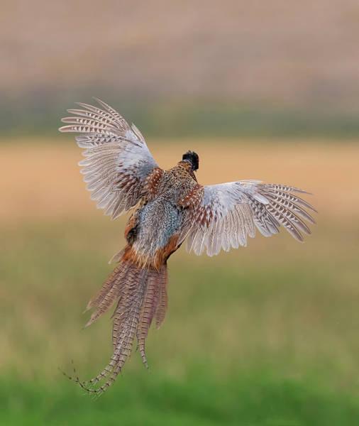 Photograph - Pheasant Away by Loree Johnson