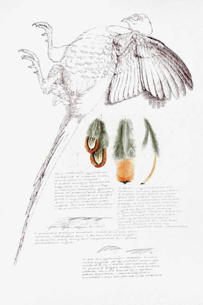Painting - Pheasant Feather Studies by Attila Meszlenyi