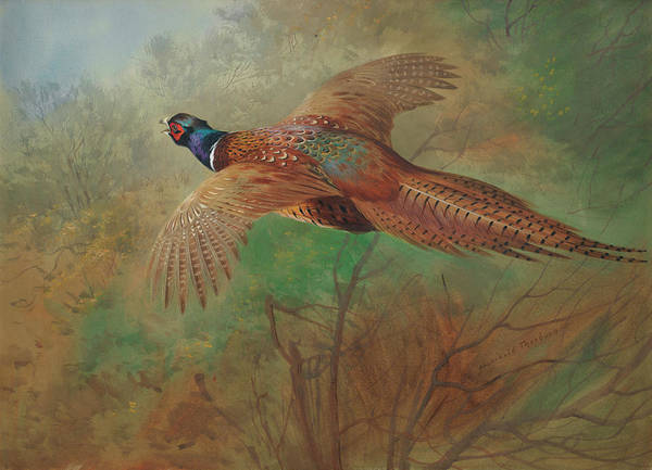 Wall Art - Painting - Pheasant In Flight by Archibald Thorburn