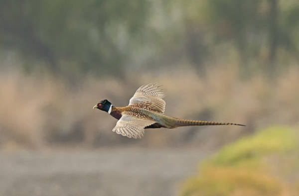 Photograph - Pheasant In Flight by Loree Johnson