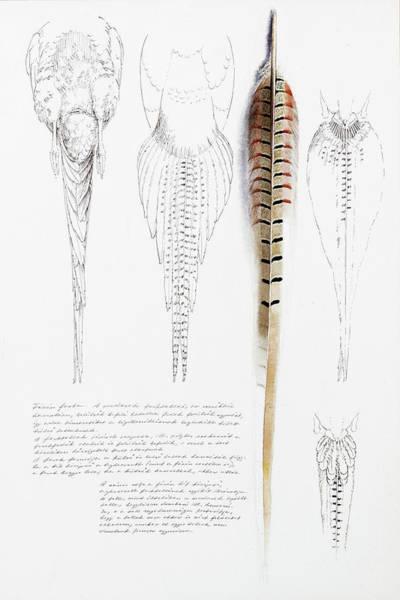 Painting - Pheasant Tail Studies by Attila Meszlenyi