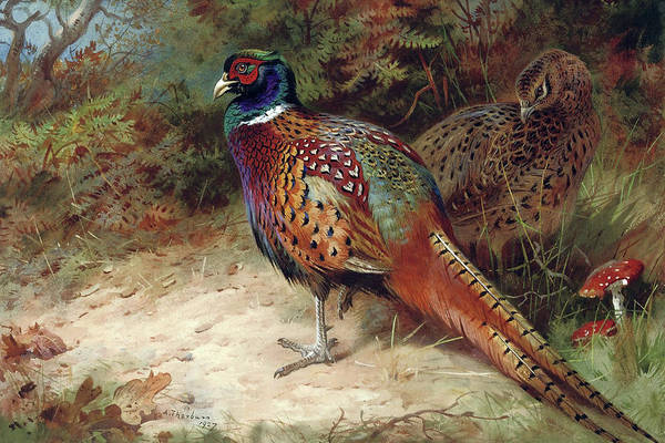 Mixed Media - Pheasants In The Woods By Thorburn by Archibald Thorburn