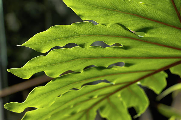 Photograph - Philodendron Leaf by Cristina Stefan