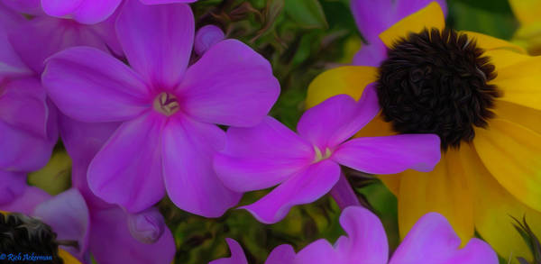 Photograph - Phlox And Black-eyed Susan by Rich Ackerman