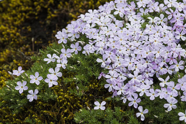 Photograph - Phlox And Moss by Robert Potts