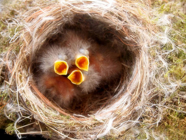 Just Birds Photograph - Phoebe Babies by Angie Rea