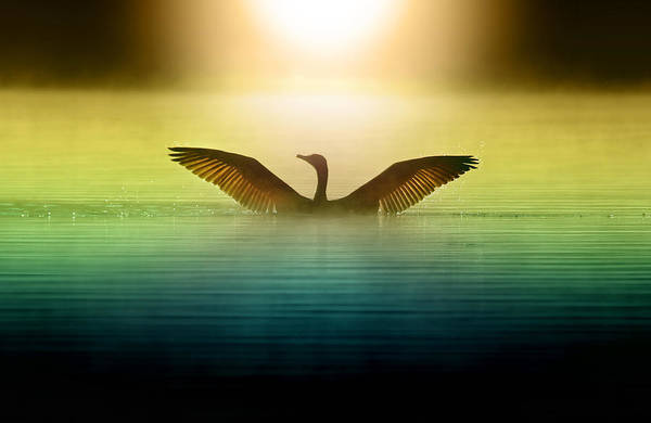 Water Birds Photograph - Phoenix Rising by Rob Blair
