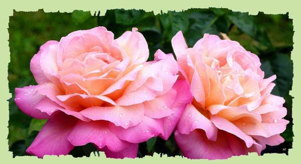 Flawless Photograph - Photogenic Peace Roses by Will Borden