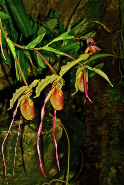 Photograph - Phragmipedium Orchids At The Conservatory by Janis  Nussbaum Senungetuk
