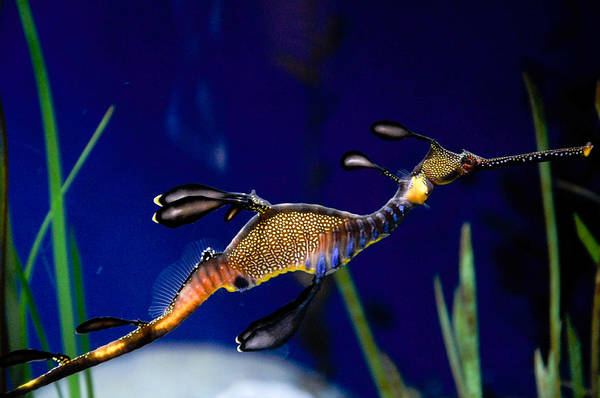 Seadragon Photograph - Phyllopteryx Taeniolatus Sea Dragon by Freepassenger By Ozzy CG