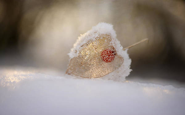 Wall Art - Photograph - Physalis In Snow by Lotte Gr?nkj?r