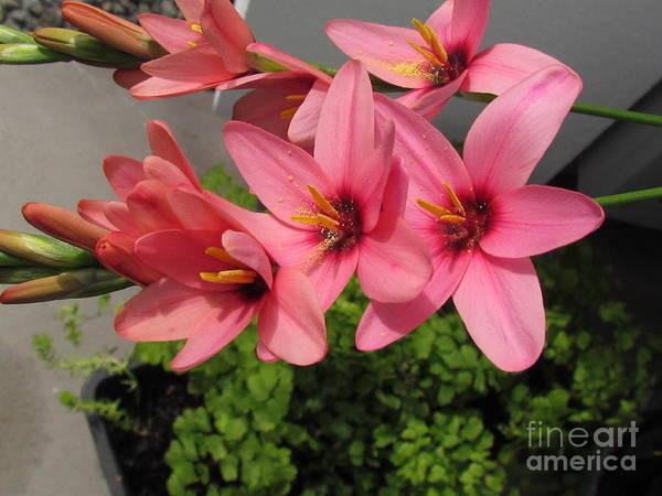 Photograph - Pibk Flower  by Joyce Woodhouse