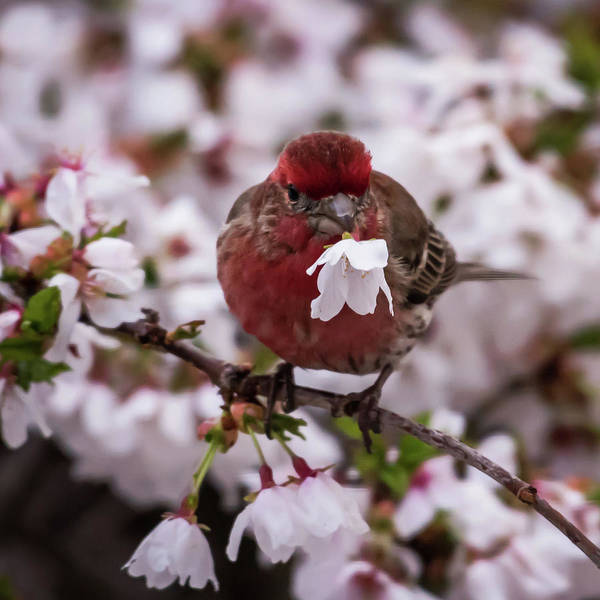 Photograph - Picked For You House Finch Square by Terry DeLuco