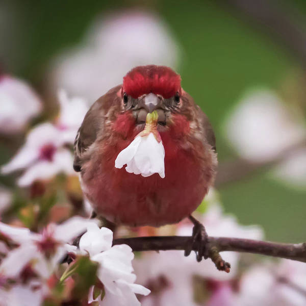 Photograph - Picked Just For You House Finch Square by Terry DeLuco
