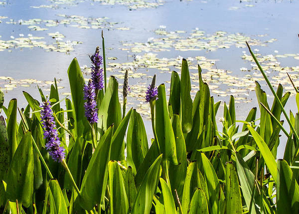 Photograph - Pickerel Weed by Richard Goldman