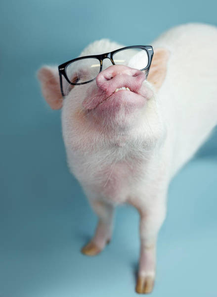 Pig Photograph - Pickle The Pig II by Eli Warren