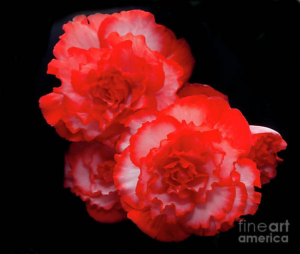 Photograph - Picotee Begonia by Ann Jacobson