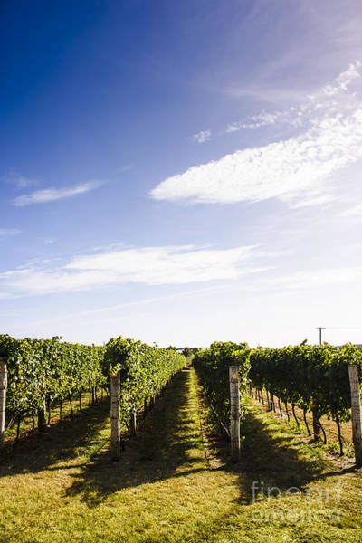 Grape Leaves Photograph - Picturesque Tasmania Vineyard by Jorgo Photography - Wall Art Gallery